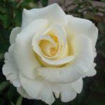 Роза Чайковский от Флоренс- питомник растений Новосибирск