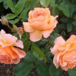 Роза Дежавю от Флоренс - питомник растений Новосибирск