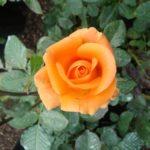 Роза Карамель от Флоренс - питомник растений Новосибирск