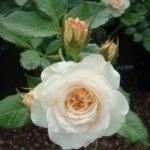 Роза Космос от Флоренс - питомник растений Новосибирск