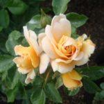 Роза Милки Вэй от Флоренс - питомник растений Новосибирск