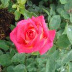 Роза Нью Фешн от Флоренс - питомник растений Новосибирск