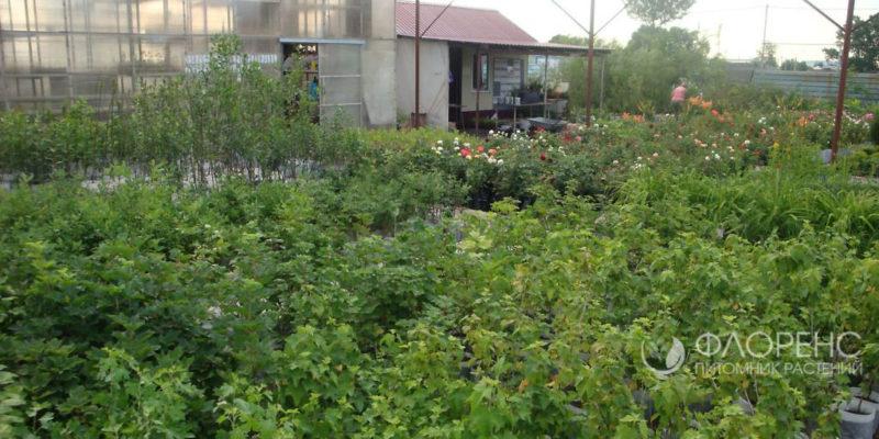 Торговая площадка Флоренс - питомник растений Новосибирск